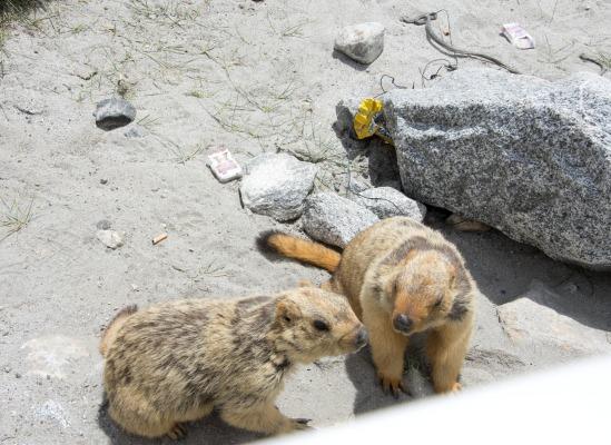 Travel Blogs on Marmots Pangong Lake